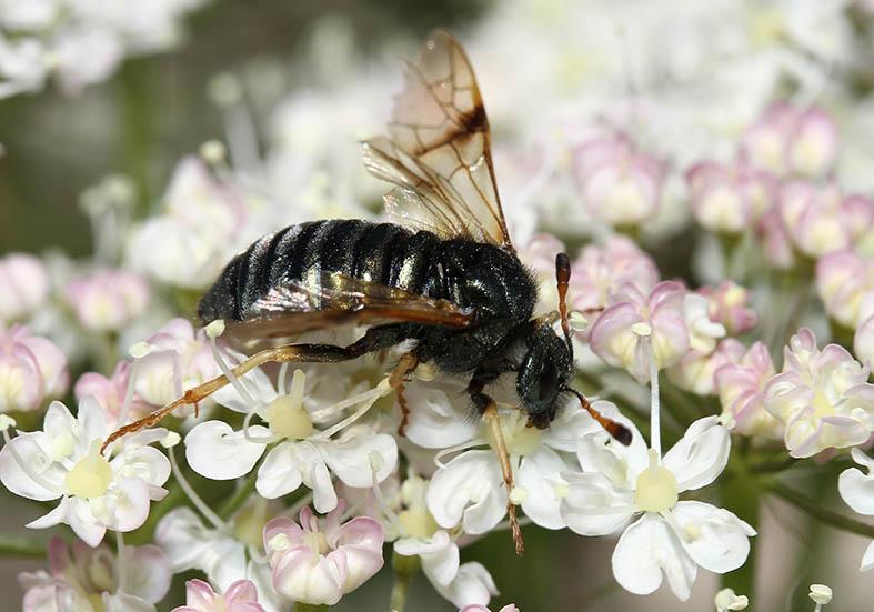 Abia fulgens - Fam. Keulhornblattwespen - Cimbicidae - Symphyta - Pflanzenwespen - sawflies