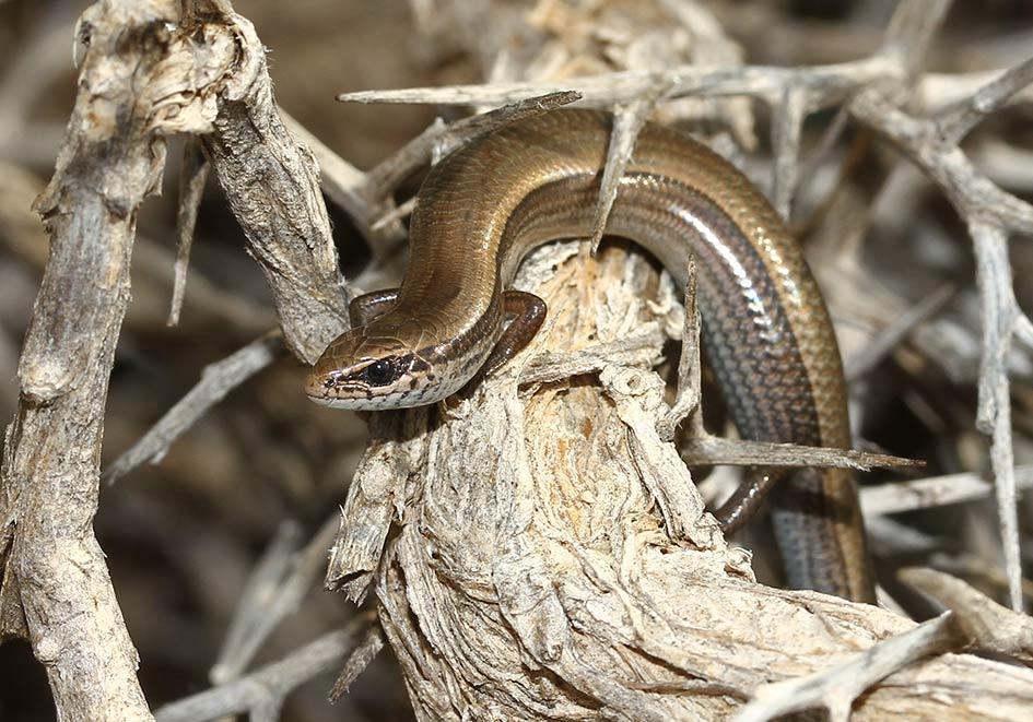 Ablepharus-kitaibelii -Johannisechse - Samos - Lacertilia - Echsen - lizards