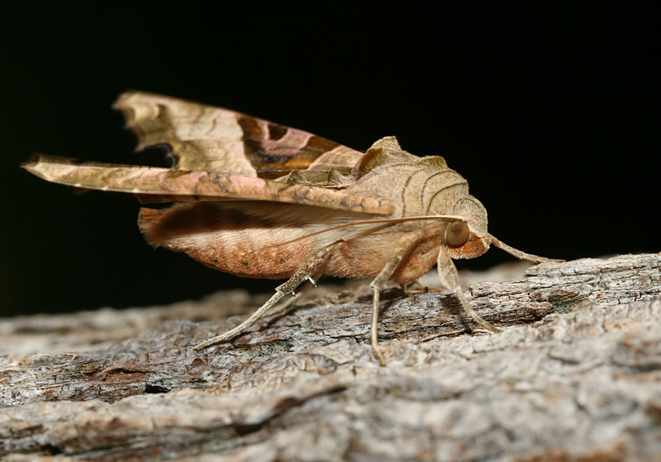 Phlogophora meticulosa - Achateule   - Fam. Noctuidae   -  Kos - Nachtfalter - moths
