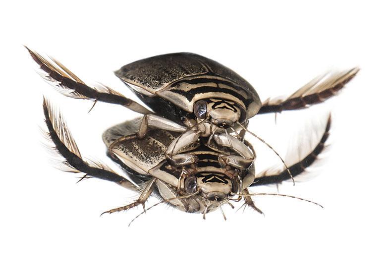 Acilius sulcatus - Furchenschwimmkäfer -  - Dytiscidae - Schwimmkäfer - water beetles