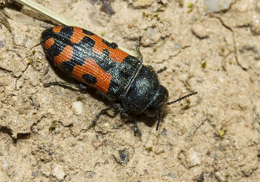 Acmaeodera cf. ottomana - Fam. Buprestidae  (Prachtkäfer)  -   -  Meteora - Thessalien - Weitere Käferfamilien - other beetle families