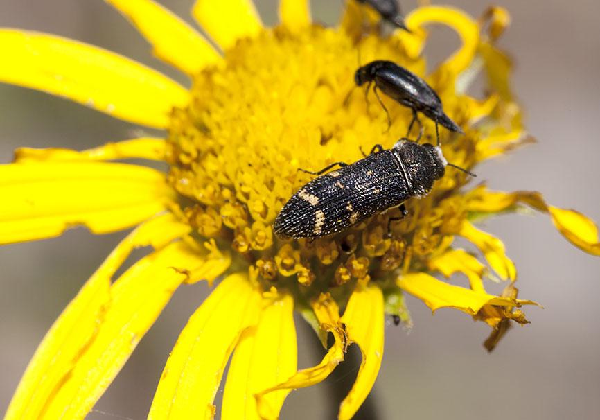 Acmaeoderella flavofasciata - Weißschuppige Ohnschild-Prachtkäfer -  - Buprestidae - Prachtkäfer -  jewel beetles