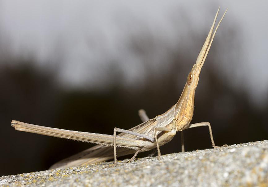 Acrida ungarica - Nasenschrecke - Fam. Acrididae/Acridinae  - Naxos - Caelifera - Kurzfühlerschrecken - grasshoppers