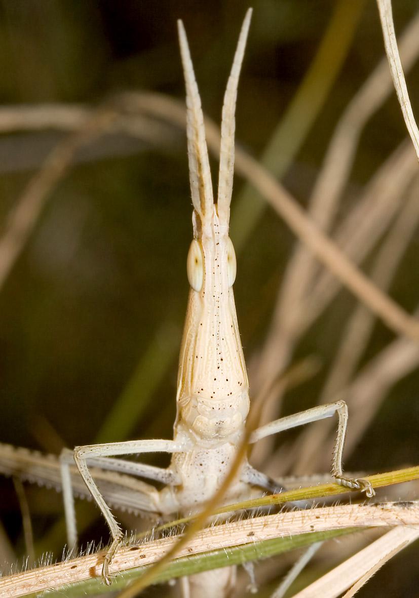 Acrida ungarica - Nasenschrecke - Fam. Acrididae/Acridinae  -  Samos - Caelifera - Kurzfühlerschrecken - grasshoppers