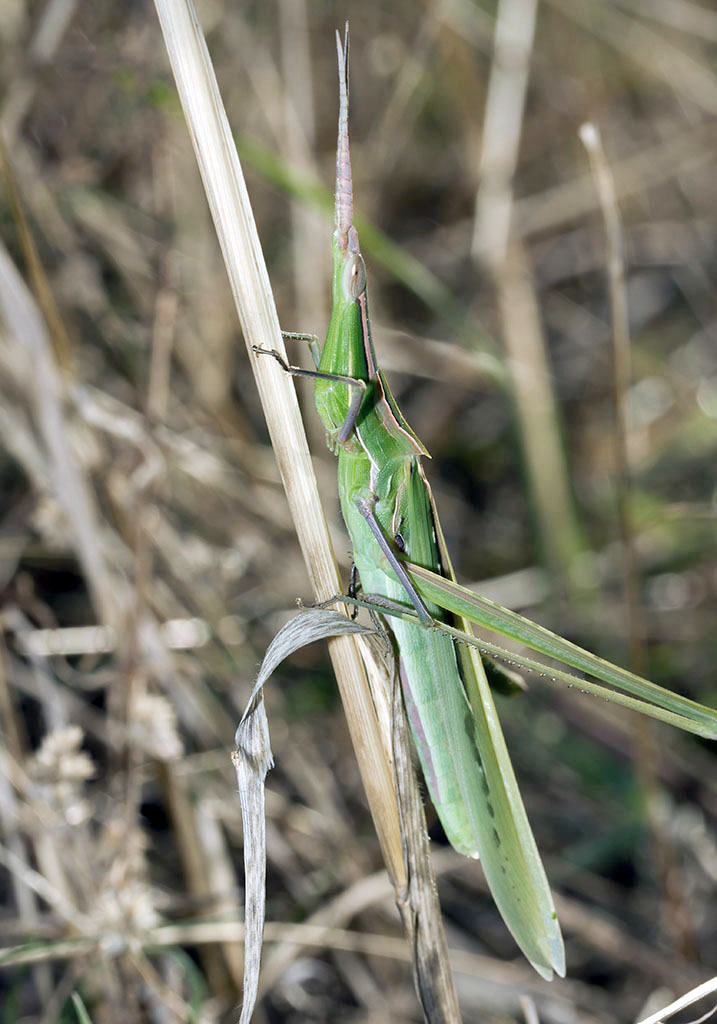 Acrida ungarica - Nasenschrecke - Fam. Acrididae/Acridinae  -  Sardinien - Caelifera - Kurzfühlerschrecken - grasshoppers