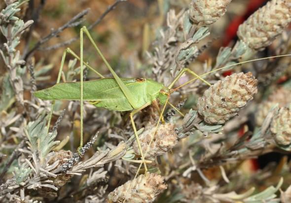 Acrometopa cretensis Sichelschrecke - Kimolos - Ensifera - Phaneropteridae - Sichelschrecken -