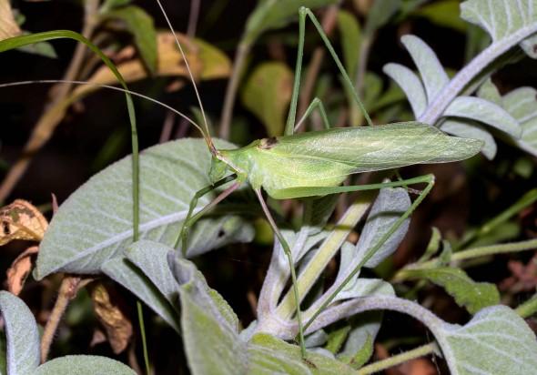 Acrometopa syrica - Samos - Ensifera - Phaneropteridae - Sichelschrecken -