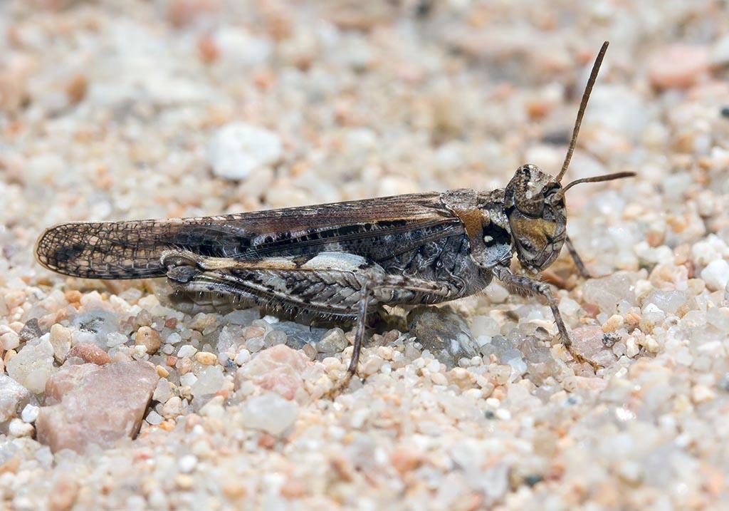 Acrotylus insubricus - Fam.  Acrididae/Oedipodinae  -  Sardinien - Caelifera - Kurzfühlerschrecken - grasshoppers