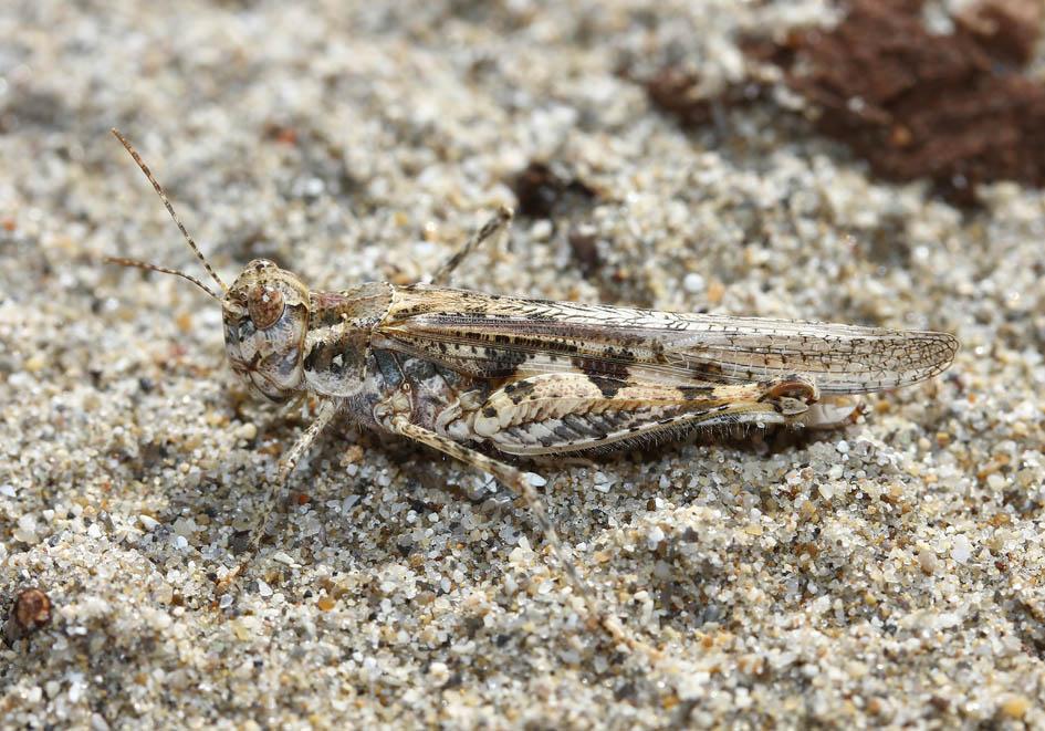 Acrotylus longipes - Fam.  Acrididae/Oedipodinae  -  gelbe Hinterflügel (Korfu) - Caelifera - Kurzfühlerschrecken - grasshoppers