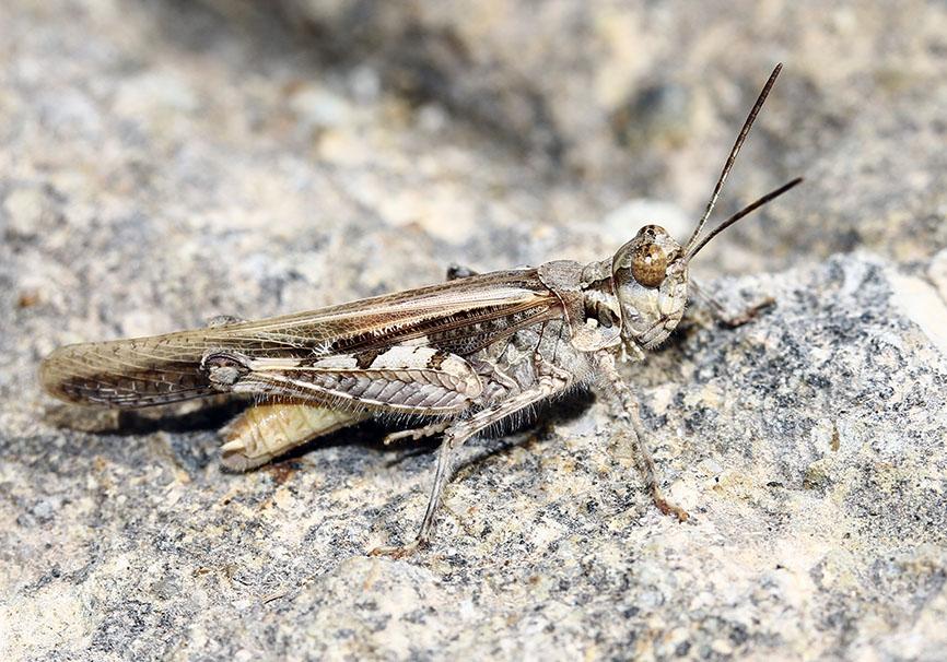Acrotylus patruelis - Schlanke Ödlandschrecke - Fam.  Acrididae/Oedipodinae  -  Samos - Caelifera - Kurzfühlerschrecken - grasshoppers