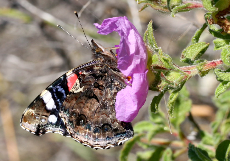 Vanessa atalanta - Admiral - Nisyros - Nymphalidae - Edelfalter - brush-footed butterflies