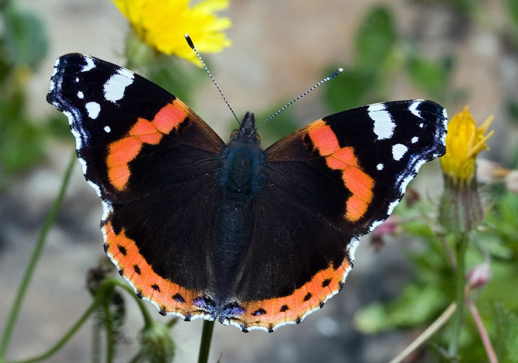 Vanessa atalanta - Admiral - Astypalea - Nymphalidae - Edelfalter - brush-footed butterflies