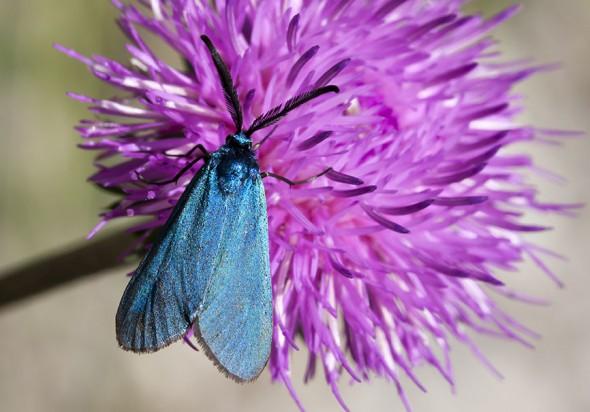 Adscita sp. - Grünwidderchen -  - Zygaenidae - Widderchen - burnet moths