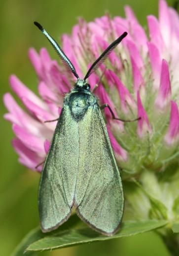 Adscita statices - Ampfer-Grünwidderchen -  - Zygaenidae - Widderchen - burnet moths