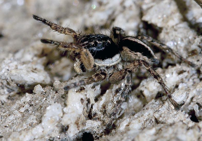 Aelurillus v-insignitus - Fam.  Salticidae - Springspinnen - Araneae - Webspinnen - orb-weaver spiders