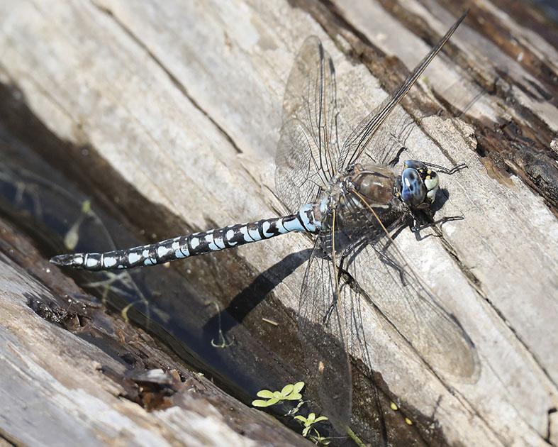 Aeshna caerulea - Alpen-Mosaikjungfer - Fam. Aeshnidae - Edellibellen - Anisoptera - Großlibellen - dragonflies