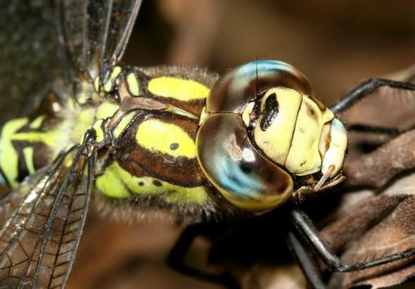 Aeshna cyanea - Blaugrüne-Mosaikjungfer - Fam. Aeshnidae - Edellibellen - Anisoptera - Großlibellen - dragonflies