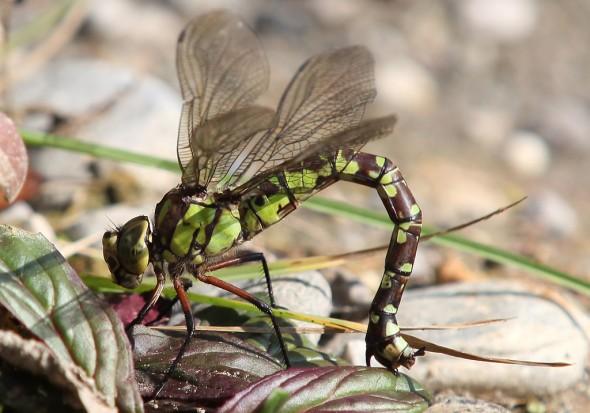 Aeshna cyanea - Blaugrüne Mosaikjungfer (Eiablage) - Fam. Aeshnidae - Edellibellen - Anisoptera - Großlibellen - dragonflies