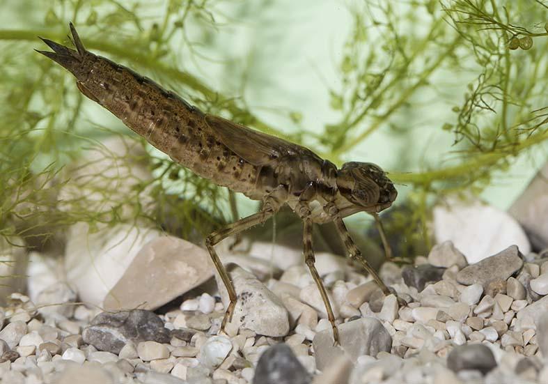 Aeshna cyanea  -  Blaugrüne Mosaikjungfer - Fam. Aeshnidae - Edellibellen - Anisoptera - Großlibellen - dragonflies