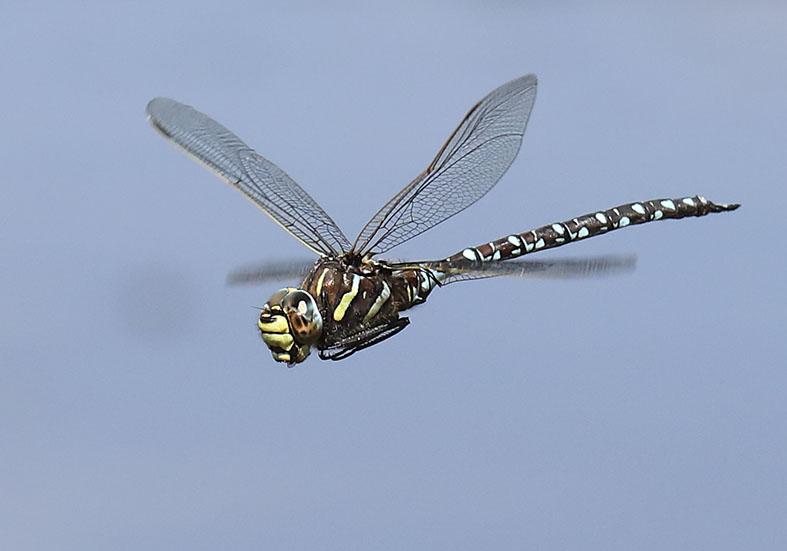 Aeshna juncea - Torf-Mosaikjungfer - Fam. Aeshnidae - Edellibellen - Anisoptera - Großlibellen - dragonflies