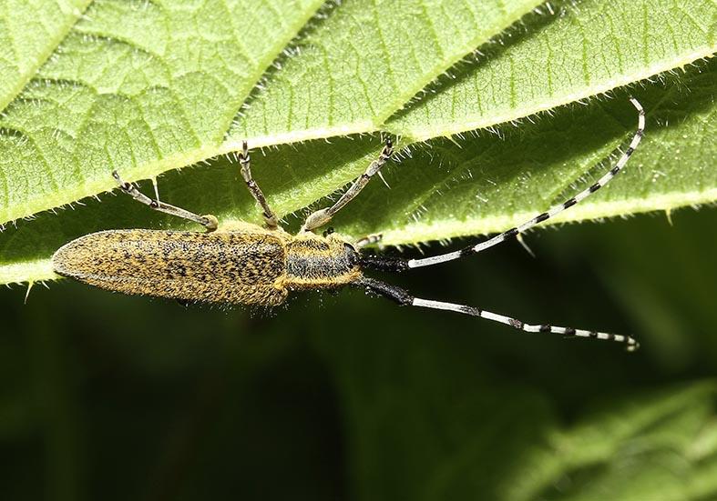 Agapanthia villosoviridescens- Scheckhorn Distelbock - UFam. Lamiinae - Cerambycidae - Bockkäfer - long-horned beetles