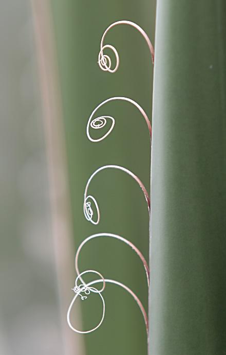 Agave -  - Dornen, Stacheln - thorns, spines, prickles