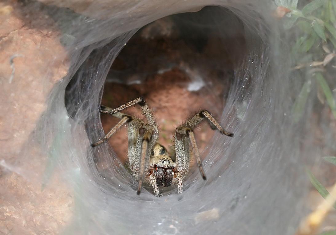 Agelena orientalis - Trichterspinne - Fam. Agelenidae  -  Serifos - Araneae - Webspinnen - orb-weaver spiders