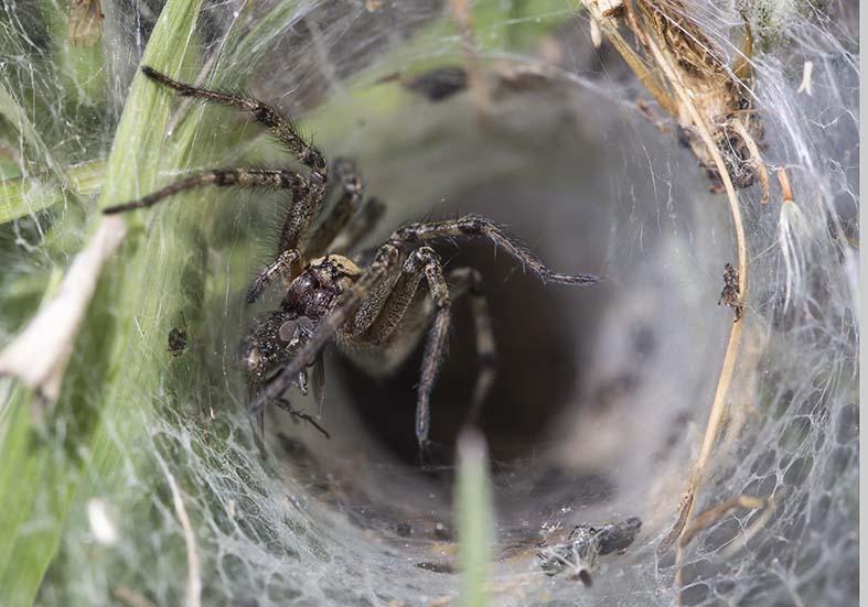 Agelena labyrinthica - Labyrinthspinne - Fam. Agelenidae  -  Trichterspinnen - Araneae - Webspinnen - orb-weaver spiders