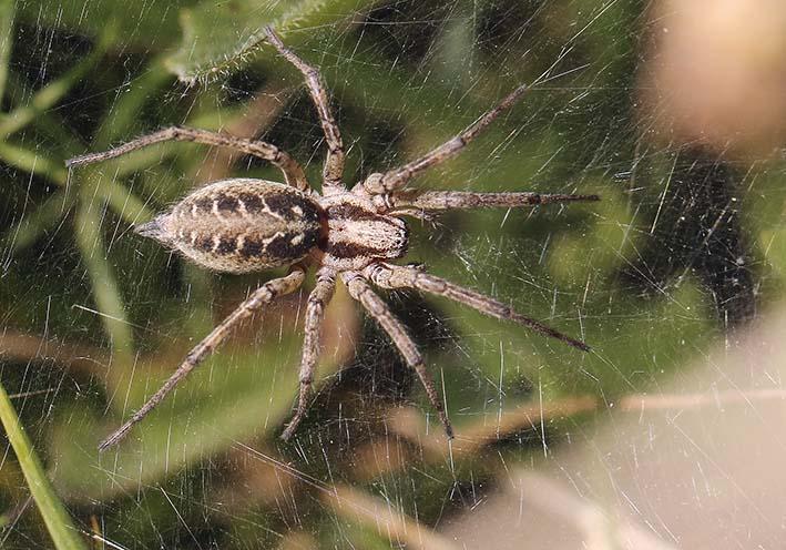 Agelena labyrinthica - Labyrinthspinne - Fam. Agelenidae - Trichternetz-Spinnen - Araneae - Webspinnen - orb-weaver spiders