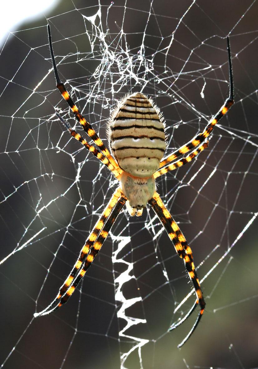 Argiope trifasciata - Wespenspinne - Fam. Araneidae  -  Gran Canaria - Araneae - Webspinnen - orb-weaver spiders