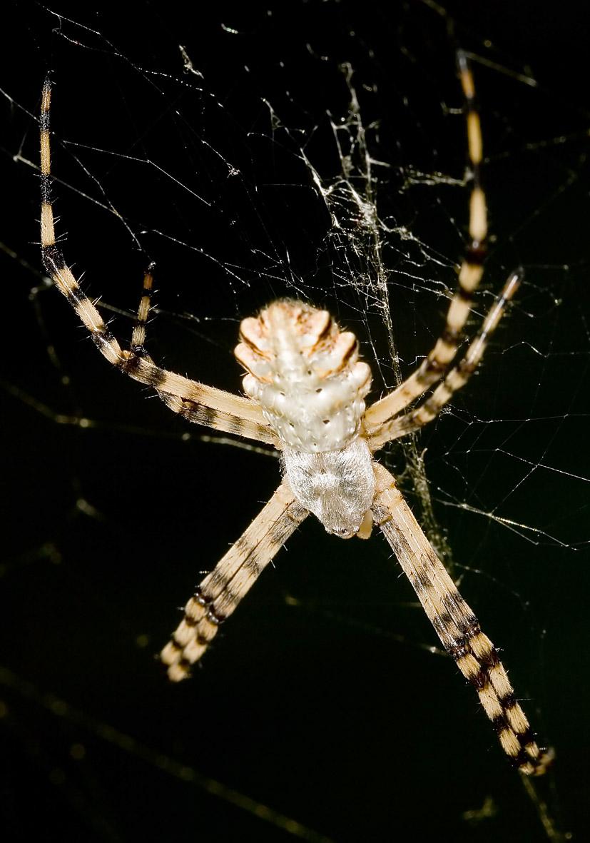 Argiope lobata - Wespenspinne - Fam. Araneidae  -   - Araneae - Webspinnen - orb-weaver spiders