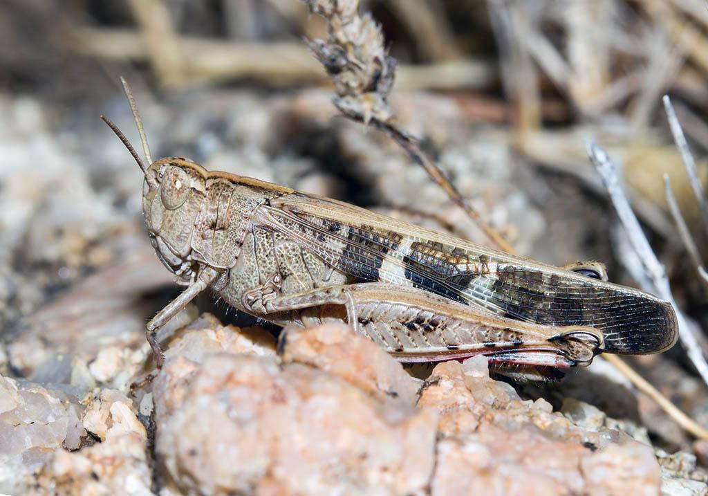 Aiolopus strepens - Fam.  Acrididae/Oedipodinae  -  Sardinien - Caelifera - Kurzfühlerschrecken - grasshoppers