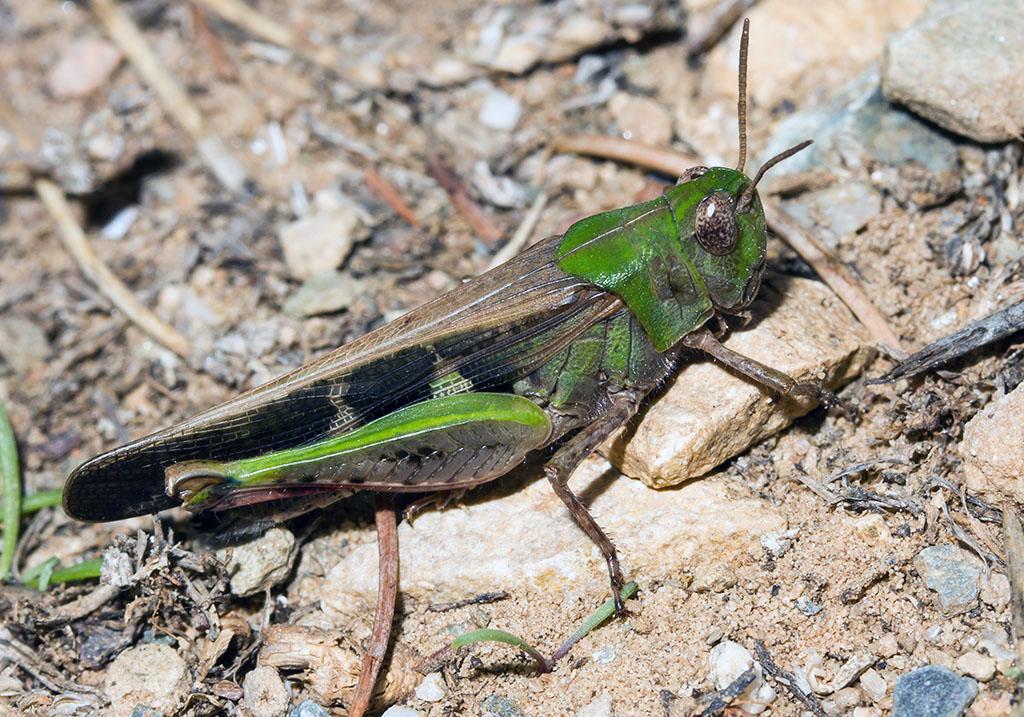 Aiolopus thalassinus - Grüne Strandschrecke - Fam.  Acrididae/Oedipodinae  -  Korfu - Caelifera - Kurzfühlerschrecken - grasshoppers