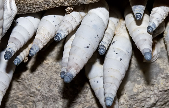 Albinaria caerulea - Amorgos - Gastropoda - Schnecken - snails