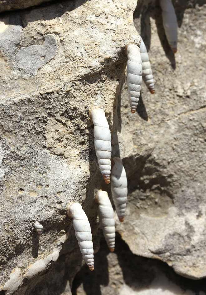 Albinaria cf freytagi - Samos - Gastropoda - Schnecken - snails