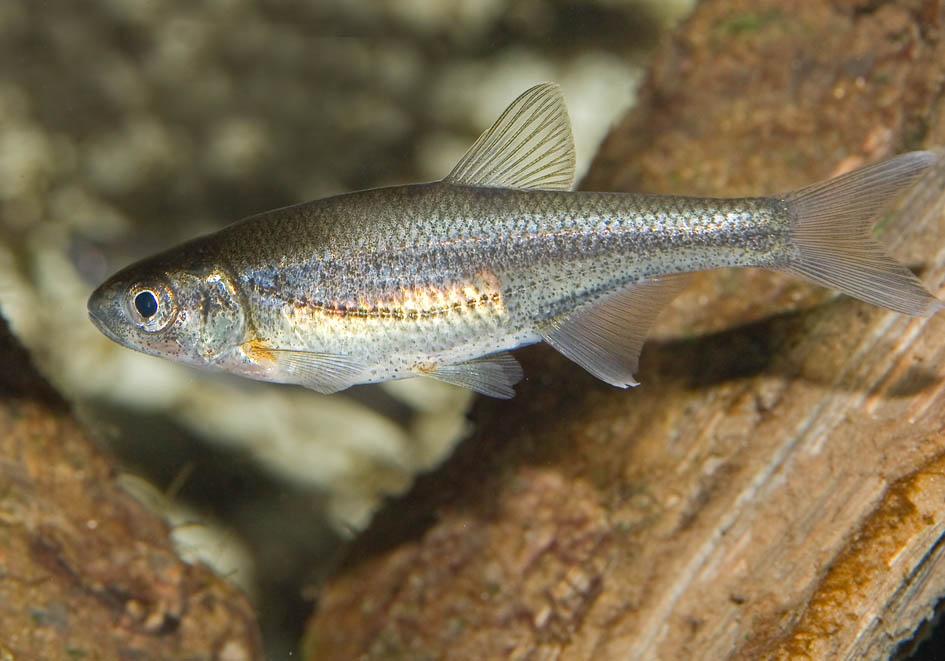 Alburnoides bipunctatus - Schneider  - Alpenzoo - Cypriniformes - Karpfenartige