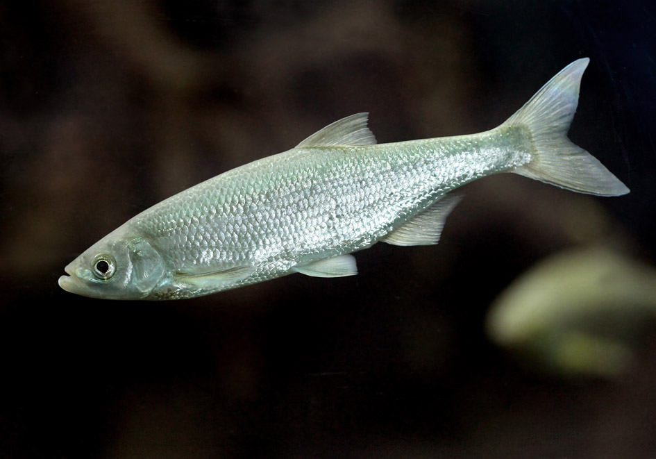 Alburnus mento (Chalcalburnus chalcoides) - Seelaube - Alpenzoo - Cypriniformes - Karpfenartige