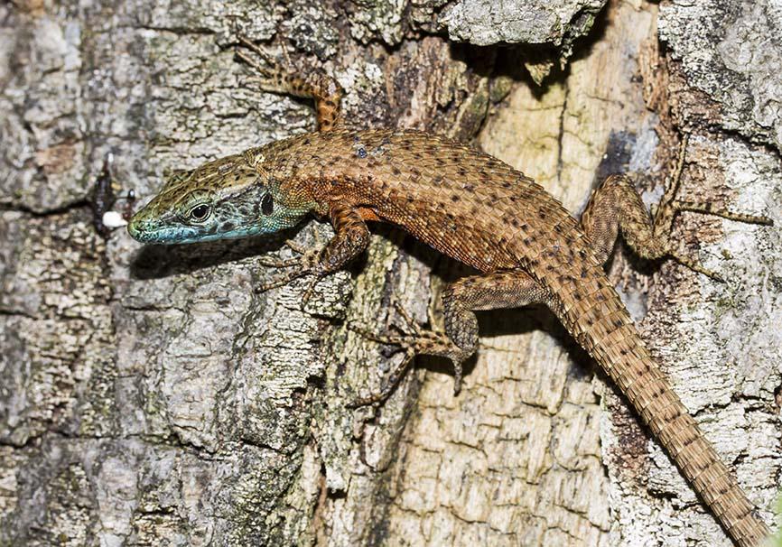 Algyroides nigropunctatus - Pracht-Kieleidechse - Zagori - Epirus - Lacertidae - Eidechsen - Lizards
