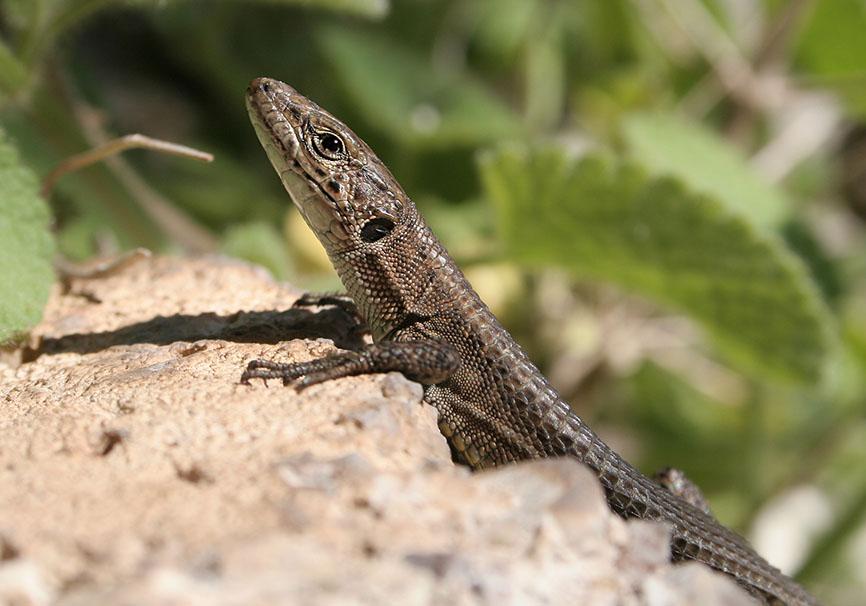 Algyroides nigropunctatus (female) -  - Lacertidae - Eidechsen - Lizards