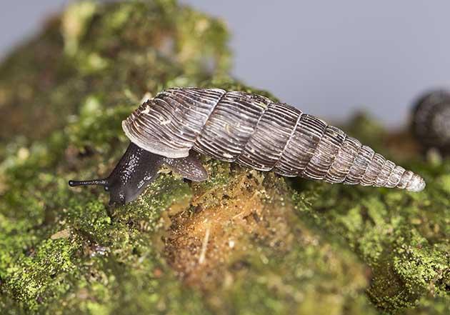 Alinda biplicata - Gemeine Schließmundschnecke - Fam. Clausiliidae - Schließmundschnecken - Stylommatophora - Landlungenschnecken - snails, slugs