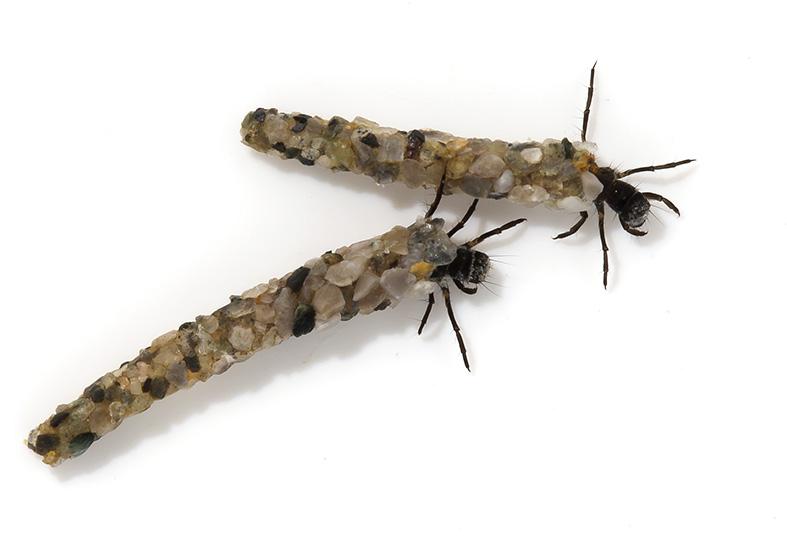 Allogamus auricollis -  - Trichoptera - Köcherfliegen - daddisflies