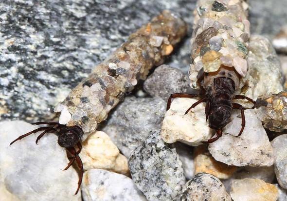 Allogamus auricollis - Köcherfliegenlarven -  - Trichoptera - Köcherfliegen - caddisflies