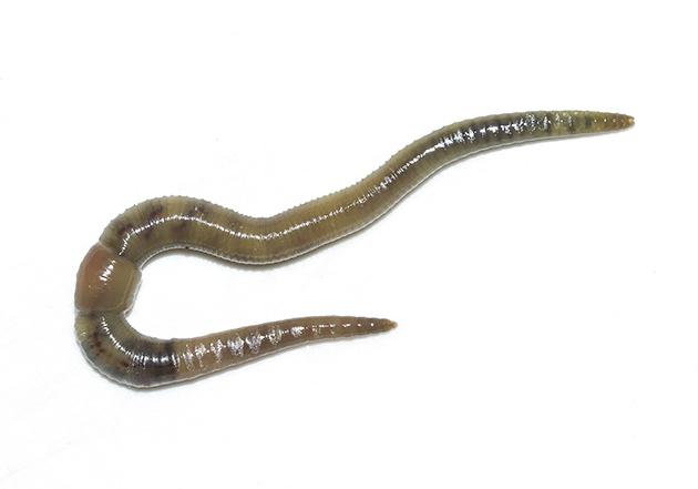 Allolobophora chlorotica - Kleiner Ackerwurm -  - Clitellata - Gürtelwürmer - clitellates