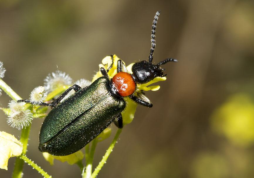 Alosimus  syriacus - Meteora - Thessalien - Meloidae - Ölkäfer - bilster beetles