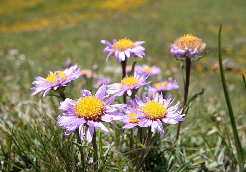 Aster alpinus - Alpen-Aster  - Fam. Asteraceae - Alpine Rasen - alpine grassland