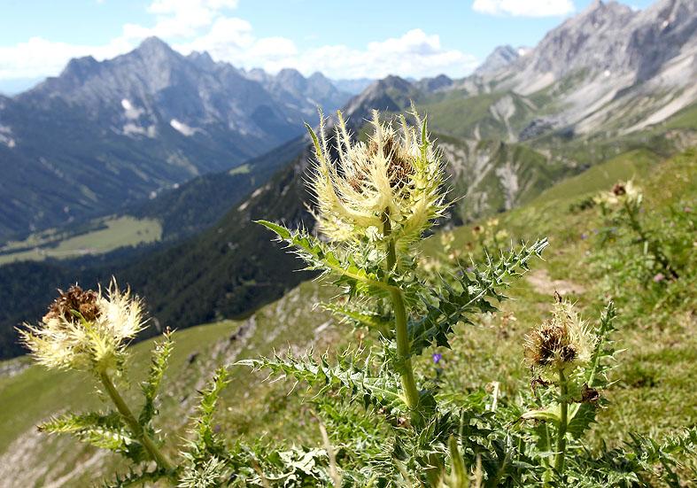 Cirsium spinosissimum - Alpen-Kratzdistel - Fam. Asteraceae - Weiden - pastures