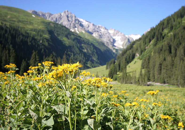 Senecio alpinus - Alpen-Greiskraut  - Fam. Asteraceae - Weiden - pastures