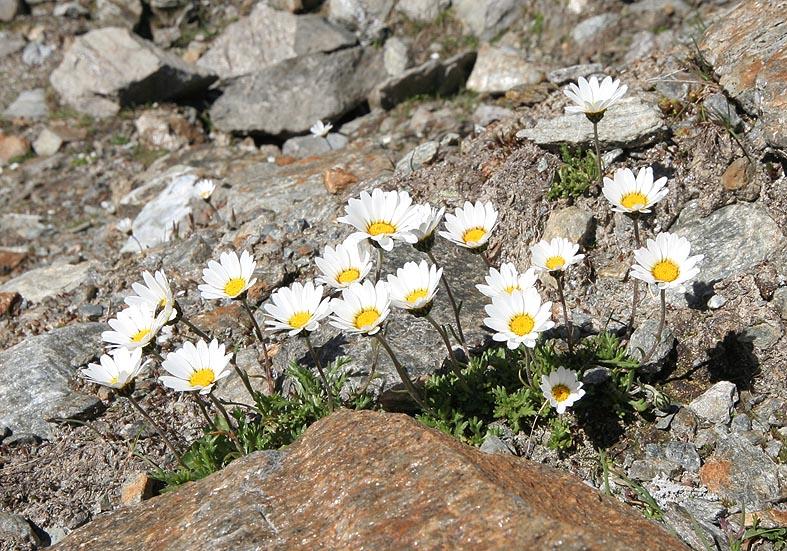 Leucanthemopsis alpina - Alpen-Margerite  (Kristallin) - Asteraceae - Felsschutt - gravel