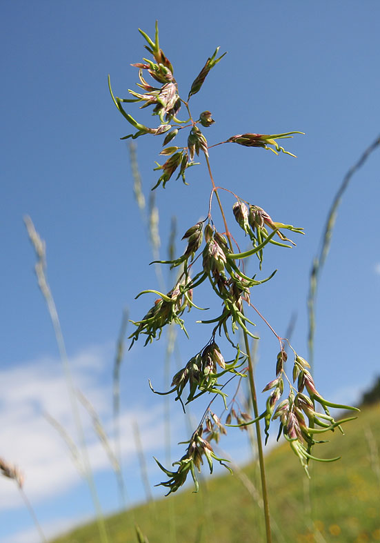 Poa alpina - Alpen-Rispengras  - Poaceae - Alpine Rasen - alpine grassland