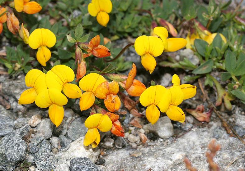 Lotus alpinus - Alpenhornklee  - Fam. Fabaceae - Alpine Rasen - alpine grassland